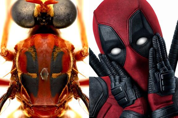 La mosca Humorolethalis sergius e Deadpool