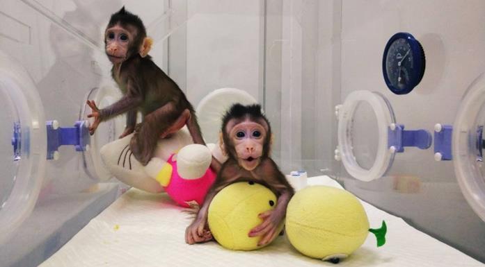 Zhong Zhong e Hua Hua, le due scimmie clonate in uno scatto della Chinese Academy of Sciences