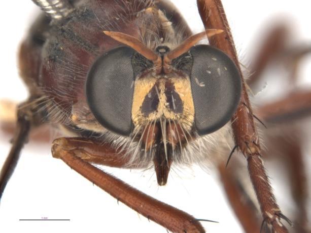 La mosca Daptolestes leei