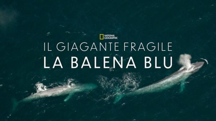 Il gigante fragile la balena blu