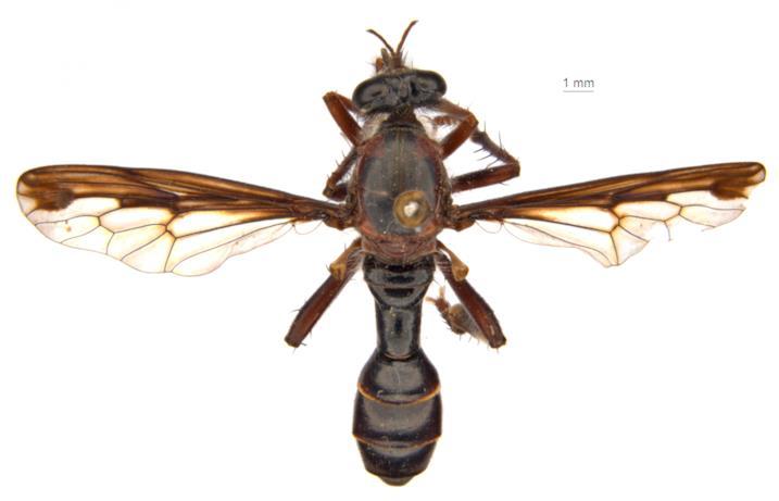 La mosca Daptolestes feminategus