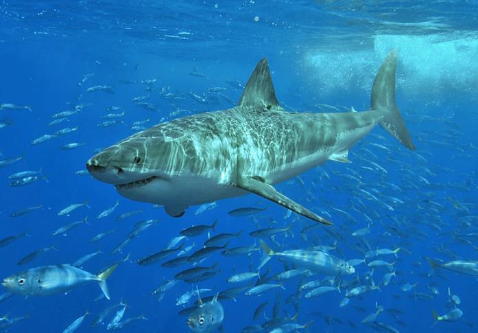 Un enorme squalo bianco