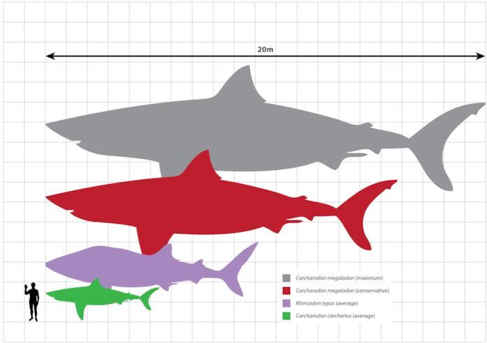 Il Megalodonte era molto più grande di qualunque altro squalo