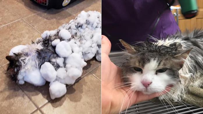 La gatta Fluffy congelata e dal veterinatio