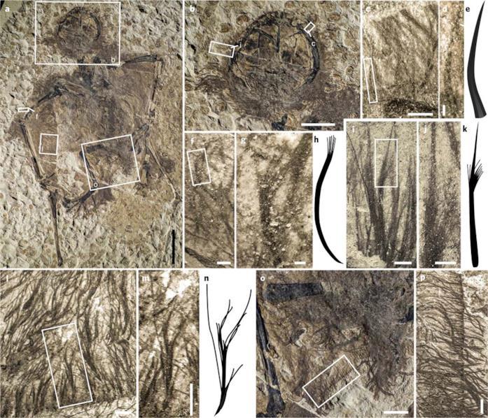 Una visuale ravvicinata dei fossili di pterosauro analizzati dal team di Baoyu Jiang