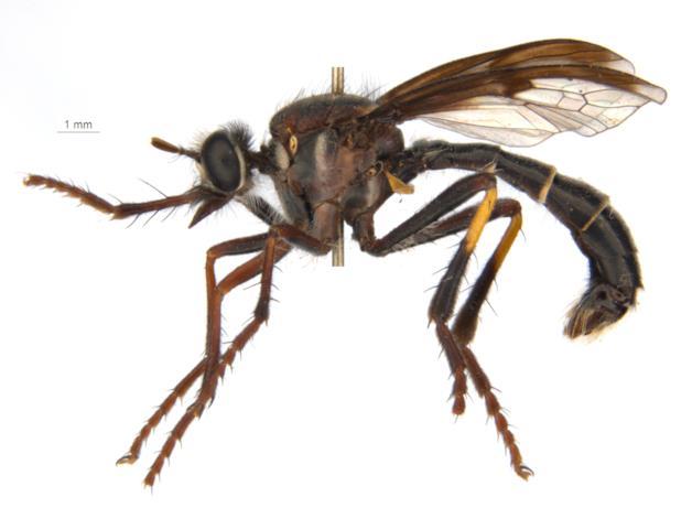 La mosca Daptolestes illusiolautus