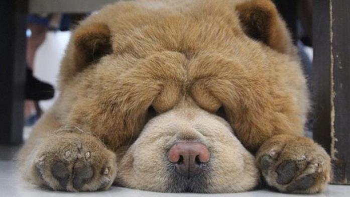 Un primo piano di Chowder the Bear Dog