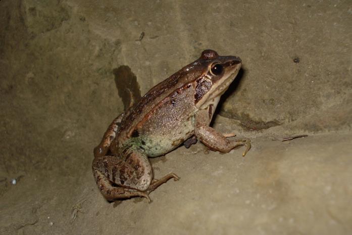 Profilo di una rana di legno
