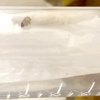 La larva intenta a nutrirsi di plastica