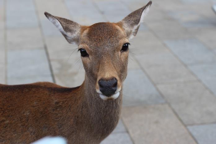 Scatto di un cervo di Nara