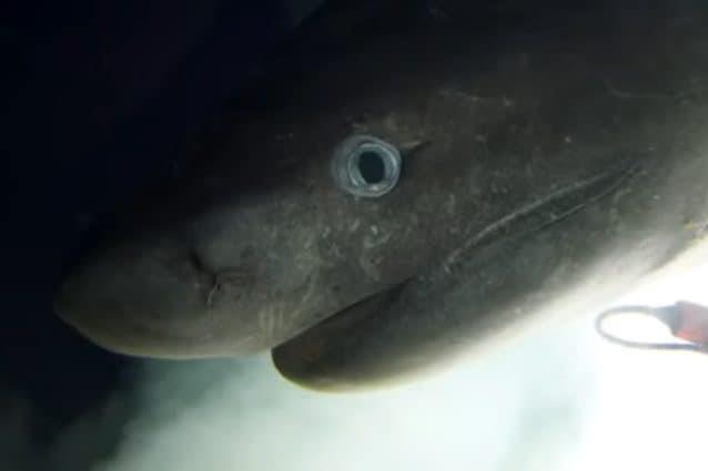Ripresa suggestiva dello squalo abissale