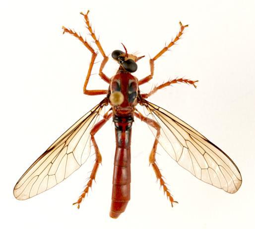 La mosca Humorolethalis sergius dedicata a Deadpool