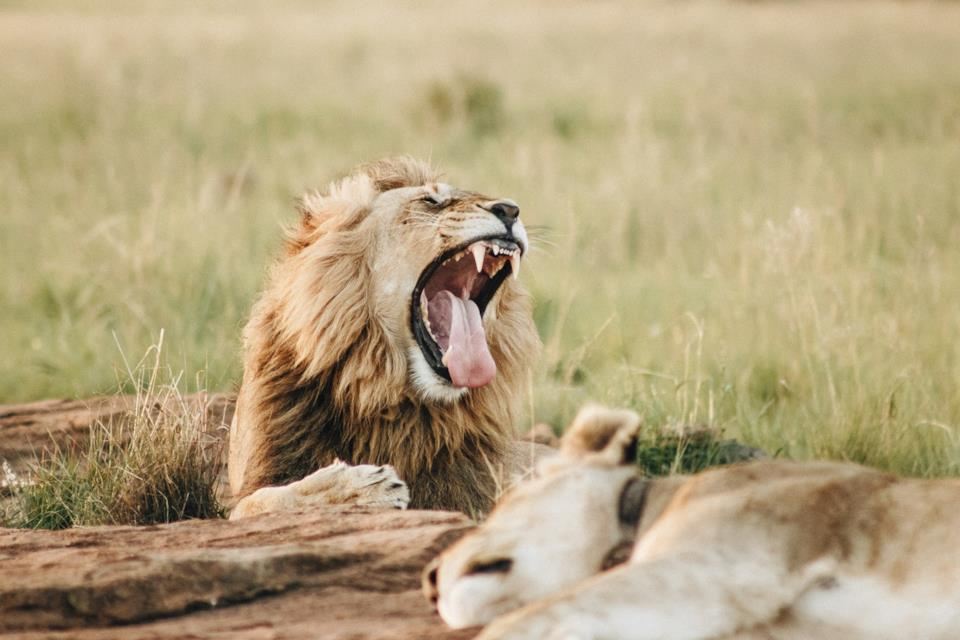 Coppia di leoni in Sudafrica