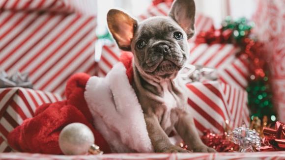 Cane piccola taglia con cappotto di Natale