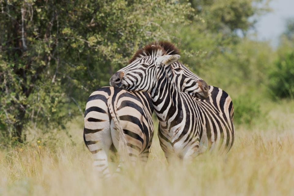 Zebre al parco Kruger in Sudafrica
