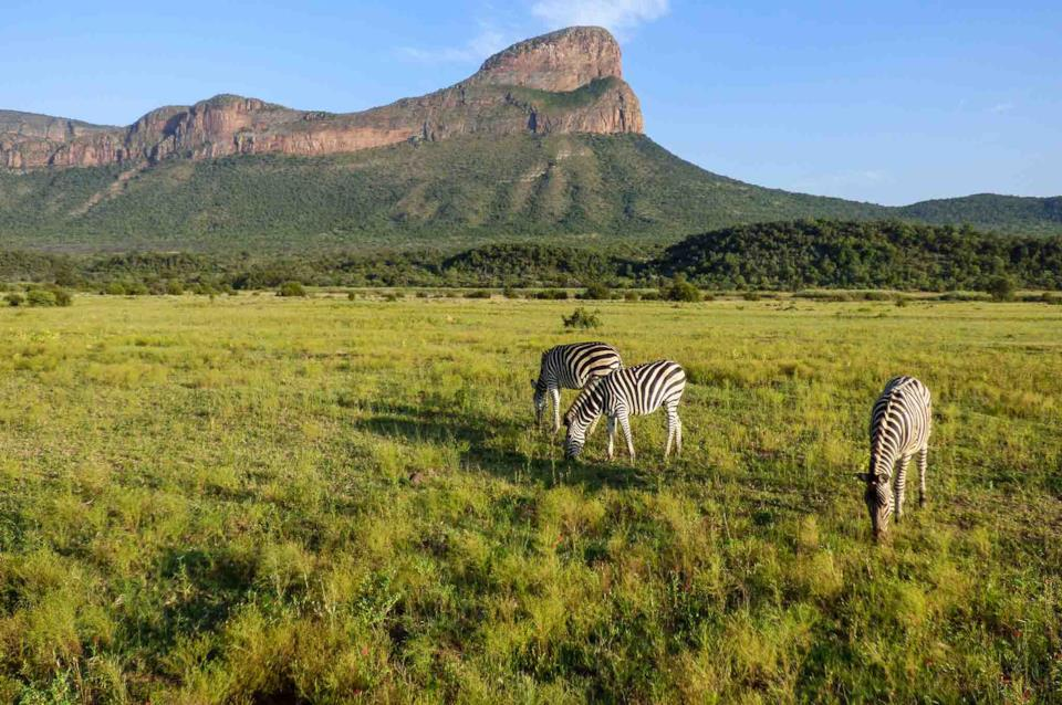 Three zebras in South Africa