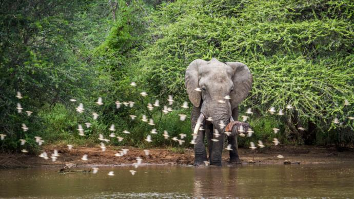 Elephant in South African nature