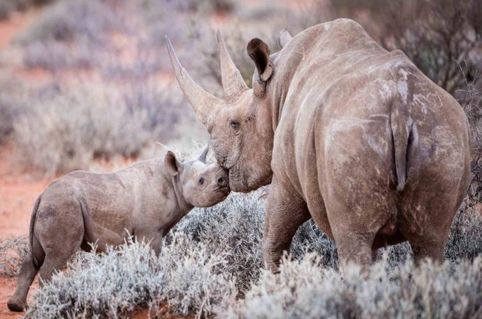 Two rhinos in Kruger National Park, South Africa