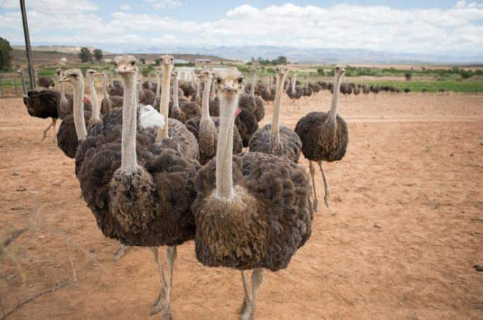 Ostrich farm in Oudtshoorn, in South Africa