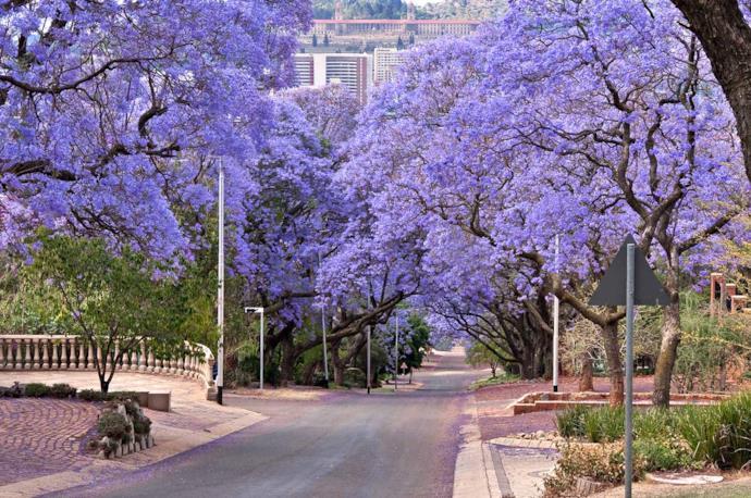 Jacaranda in Pretoria, South Africa