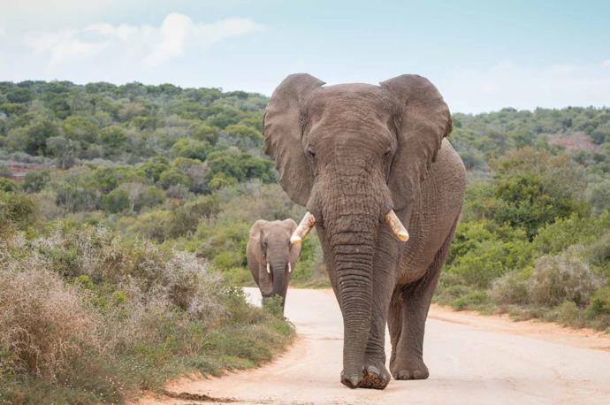 Two elephants in South Africa