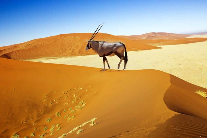 Oryx in the desert, Namibia