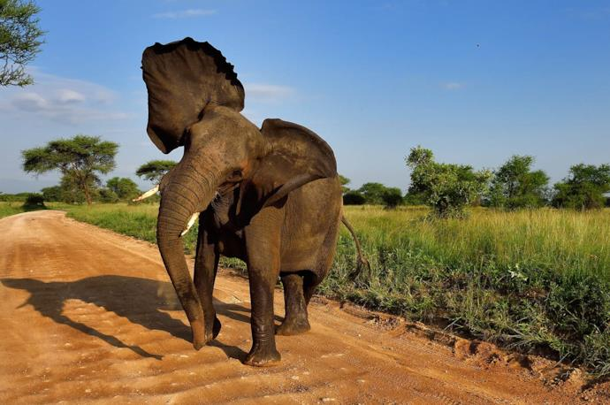 Seeing an elephant during a safari at Kruger Park, South Africa