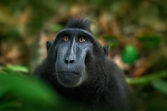 Black macaque in Sulawesi, Indonesia