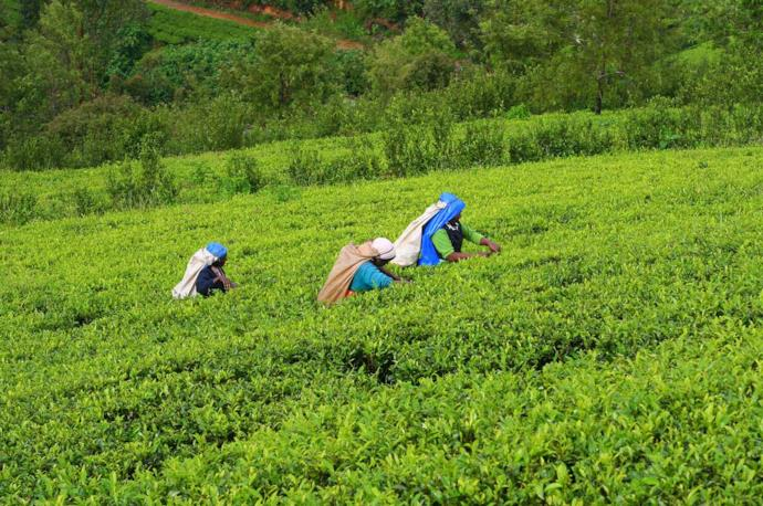Farmers in Sri Lanka's tea plantation
