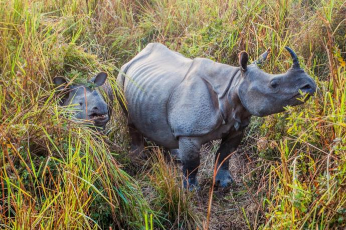 Baby rhinos in India