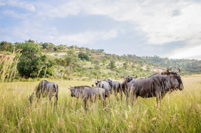 Wildebeest in Pilanesberg National Park, South Africa