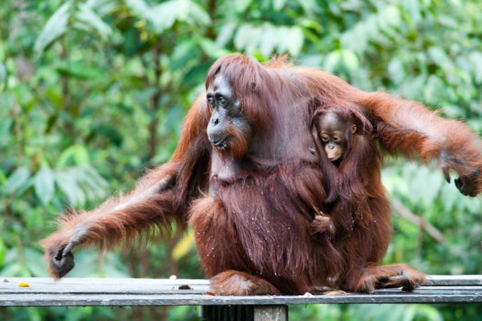 Orangutans in Kalimantan, Indonesia