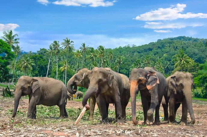 Pinnawala's elephants, Sri Lanka