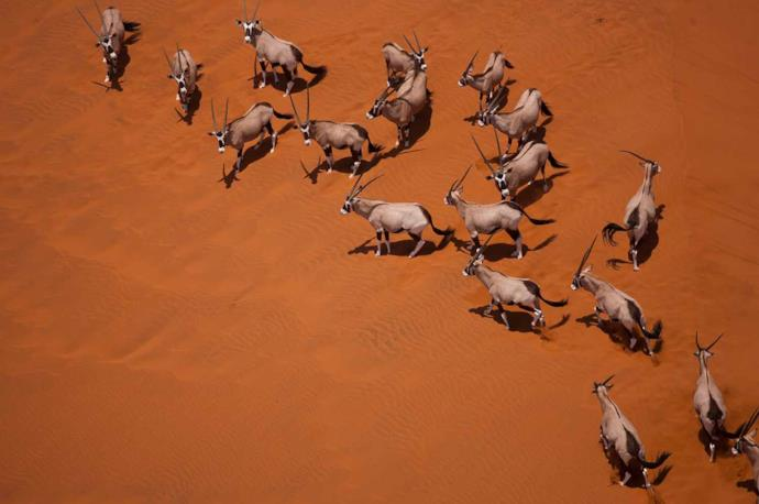 Oryx group in Namibia