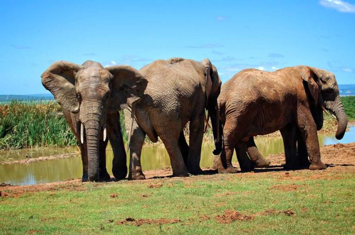 Elephant group in Addo Elephant National Park, South Africa