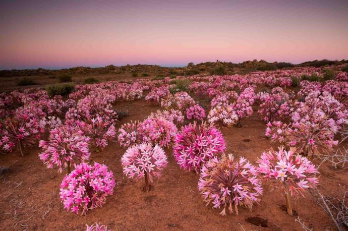 Namaqualand blooming desert in South Africa
