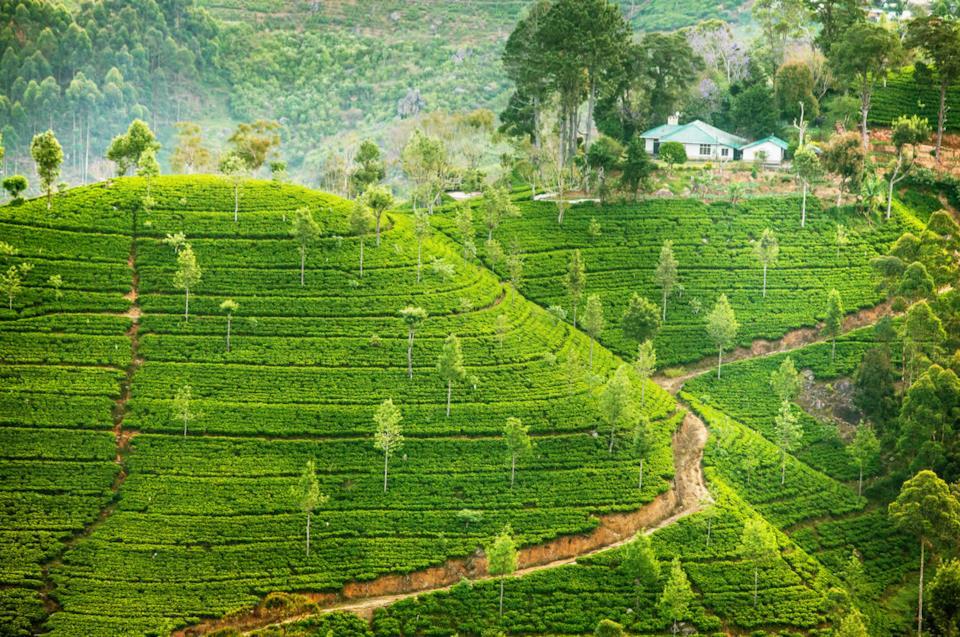 Sri Lanka's tea plantation