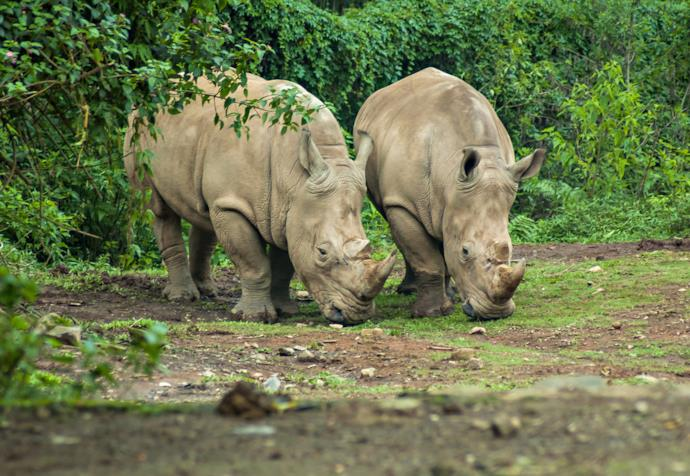 Rhinos in Ujung Kulon National Park, Indonesia