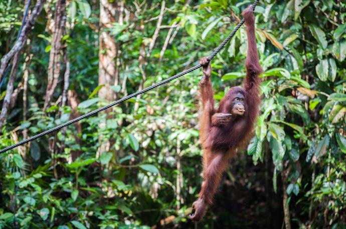 Orangutan in the jungle, Sumatra, Indonesia