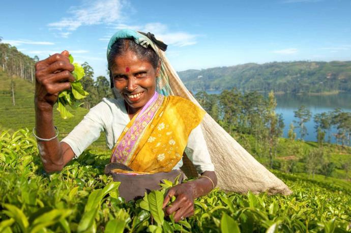 Tea plantation's farmer in Sri Lanka