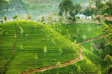 Il tè di Ceylon, un viaggio tra le coltivazioni dello Sri Lanka