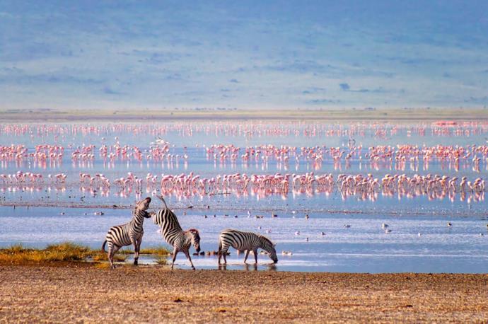 Zebre si abbeverano in una pozza d'acqua, sullo sfondo di un gruppo di fenicotteri