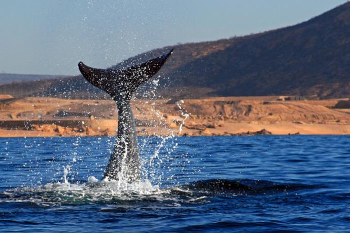 whale watching in baja california, Messico