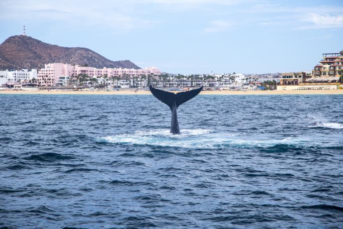 Una balena nel mare del Messico