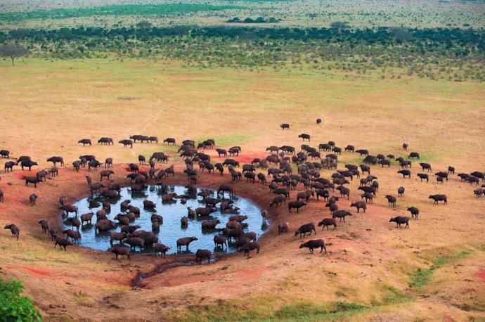 Bufali nel cratere di Ngorongoro in Tanzania.