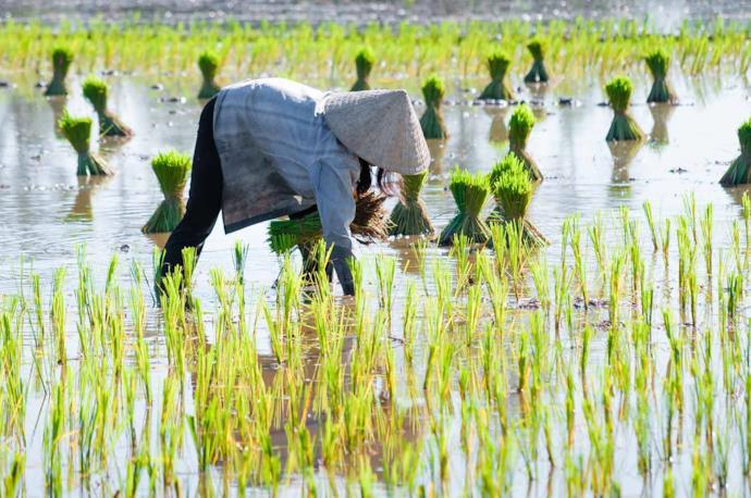 Contadino raccoglie riso, Vietnam