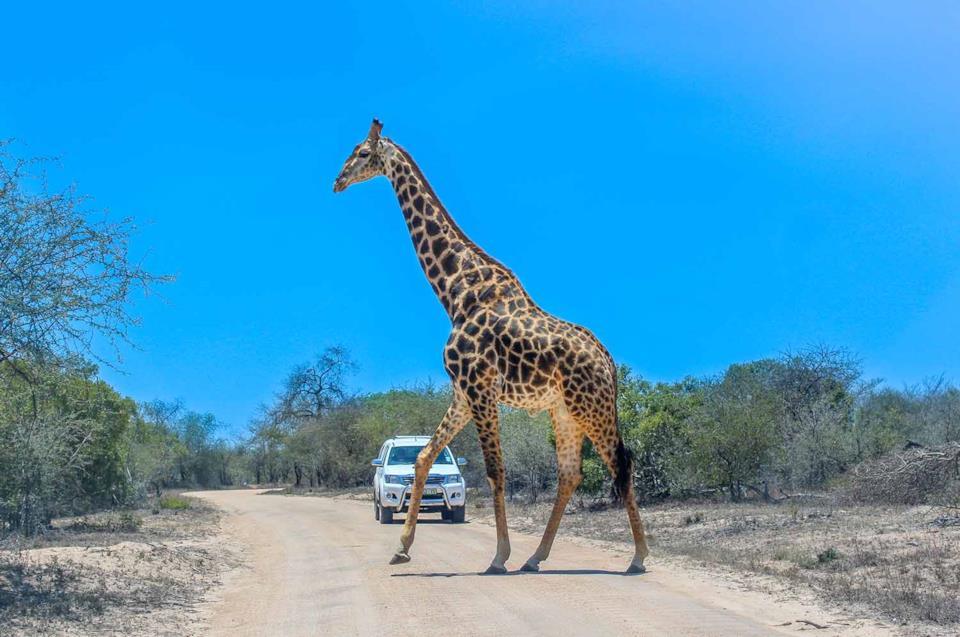 Una giraffa avvistata durante un safari al Parco Kruger in Sudafrica