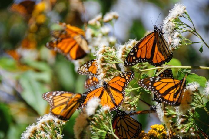 Farfalle monarca nella Riserva della Biosfera delle Farfalle, messico