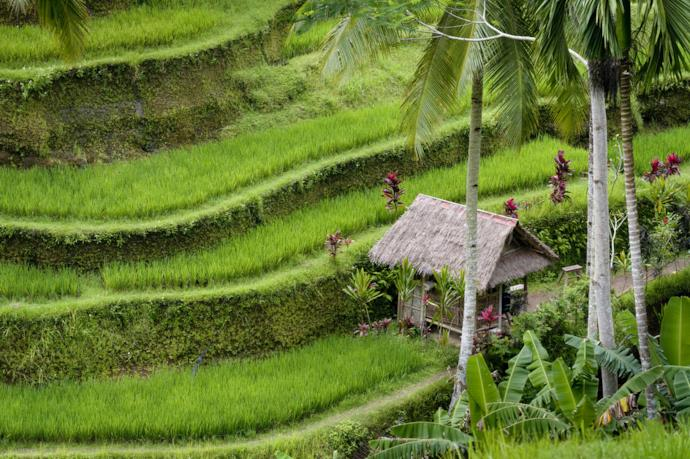 Risaie Subak tipiche di Bali in Indonesia