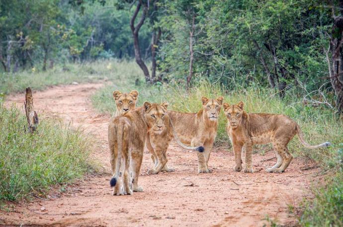 Safari al Parco Kruger in Sudafrica tra i leoni
